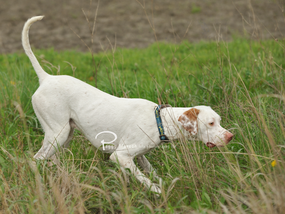 English Pointer on point